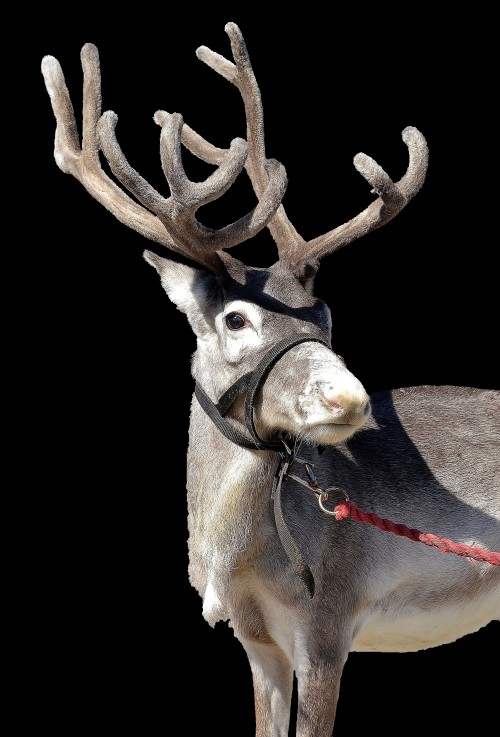 Dixie, male reindeer